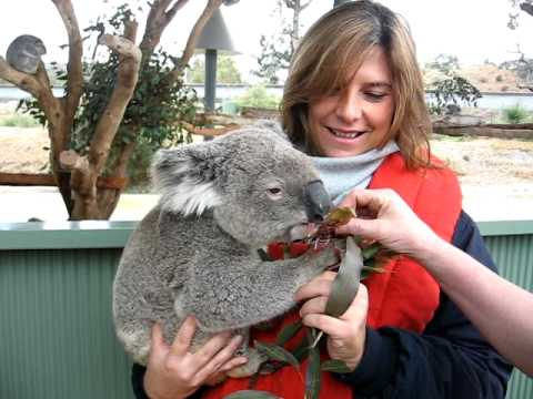 Koala al Cohunu WildLife Park - Western Australia, Perth