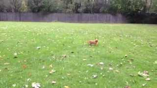 Adelaide's Tiny Puppy Zoomies!