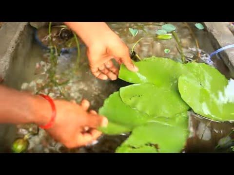 Koi Fish I Lotus I Water Lily I Pond Setup