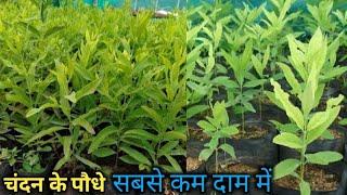 Chandan ke podhe Kahan se kharide चंदन के पौधे कहां से खरीदें 🤔 Chandan plant nursery
