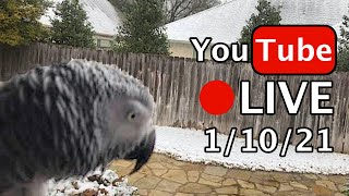 🔴🐦Einstein Parrot LIVE! 1/10/21 Snow Day!