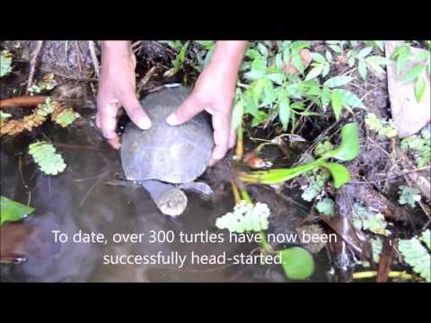 Release of head-started Madagascar side-necked turtles, Ankarafantsika National Park, Madagascar