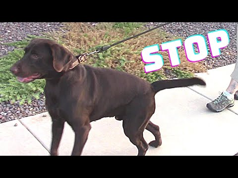 stop-your-dog-from-pulling-on-the-leash---calm-your-excited-dog