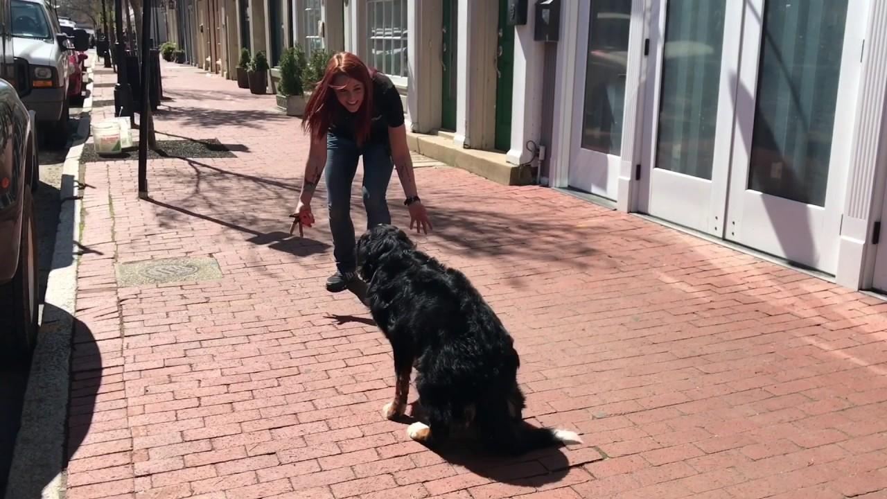 1 Yr Old Bernese Mountain Dog Mia Bernese Mountain Dog Training Off Leash K9 Training