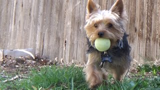 RORO FETCHES THE GLOW IN THE DARK BALL 4-5-15 (DAY 130)