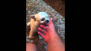 Maltese Puppy London Knows His Name