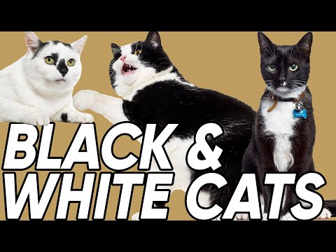 Do You Know the 3 Classifications of Black & White Cats?