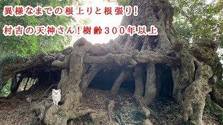 村吉の天神さん 巨木 Huge tree  イチイガシ 盆栽 bonsai  根上り 樹形