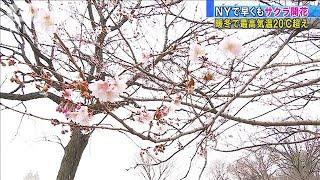 NYでもうサクラ開花! 45年ぶりの暖かさで20度超え(20/01/14)