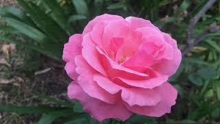 growing roses indoors