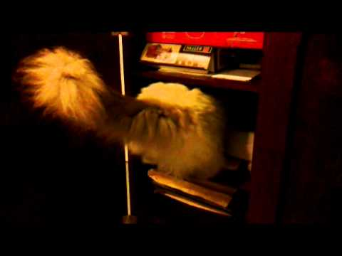FIP cat Mischka after paracentesis