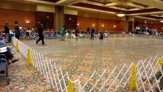 Dalmatian Club Of America 2012 National Specialty - Veteran Dog 10 And Over Class
