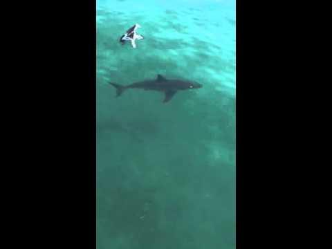 Great white shark swimming at Seacliff Beach in Aptos
