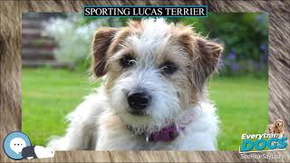 Sporting Lucas Terrier  Everything Dog Breeds