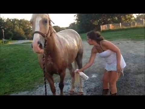 2003 PALOMINO REGISTERED TENNESSEE WALKING HORSE GELDING FOR SALE IN MAINE