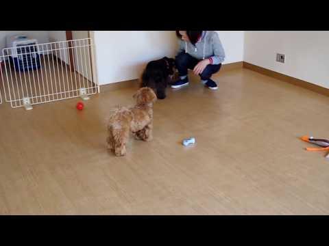 遊ぶマルプーのハルちゃんとミニチュアシュナウザーのレオ君とトイプードルのマロンちゃん