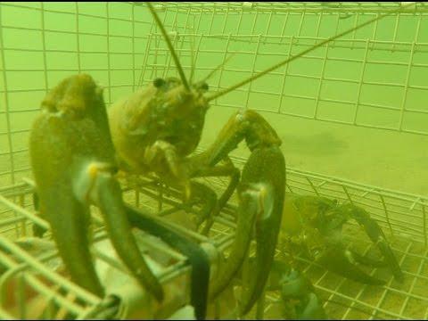 GoPro -  Trapping Huge Crayfish Underwater PART 2 (new Season) Crawfishing Crawfish