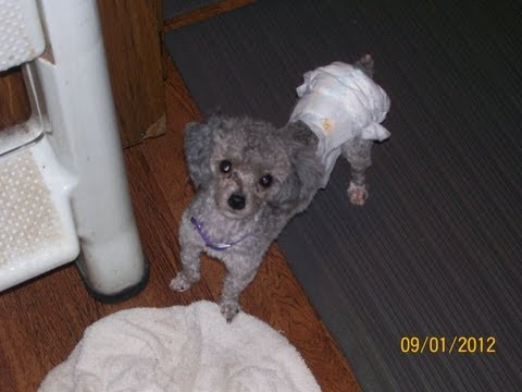 how-to-diaper-your-dog-or-puppy-&-save-money,-time,-and-mess!