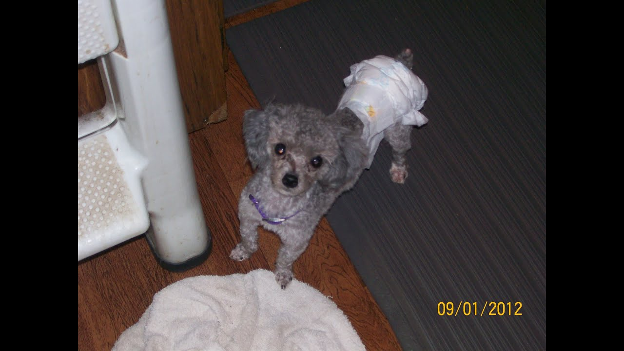 how to diaper your dog or puppy amp save money time and
