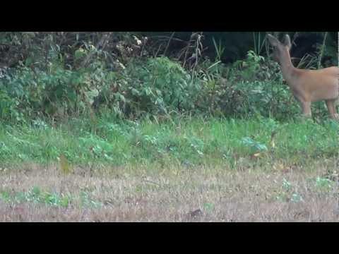 Calling in Roe Deer Slovakia 5 2014