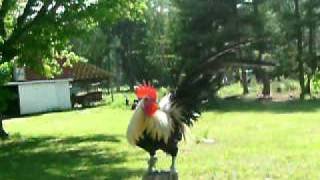 Al-Medina Farms  Exotic Fowl