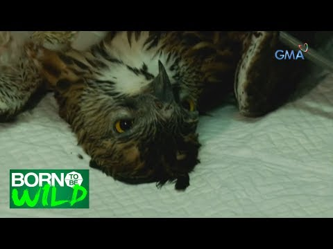 Born to Be Wild: Rescuing a Philippine Hawk Eagle that had a tumor