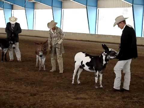 Miniature Donkey Great Celebration Donkey Show - Part 2