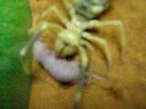 Camel Spider