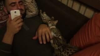 Супер нежные котята Бенгал Ф1 питомника Royal Cats