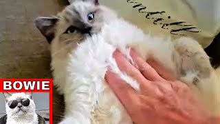 Big cute Ragdoll cat and his daily belly rub.