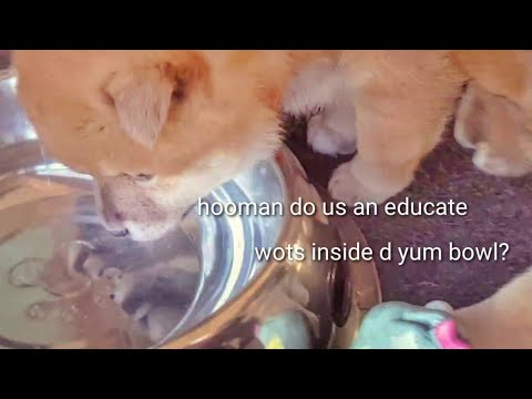 Potats meets water for the 1st time. Shiba Inu puppies (with captions)