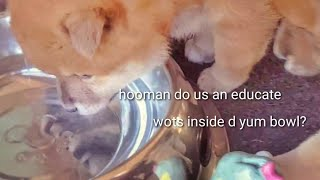 potats-meets-water-for-the-1st-time-shiba-inu-puppies-with-captions