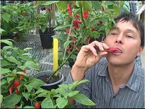 World's Hottest Hot Peppers Growing in Michigan Survive the Frost