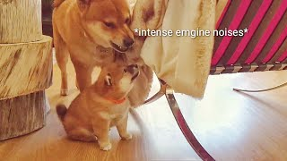 amgery-daddo-the-return-ep12-shiba-inu-puppies-with-captions