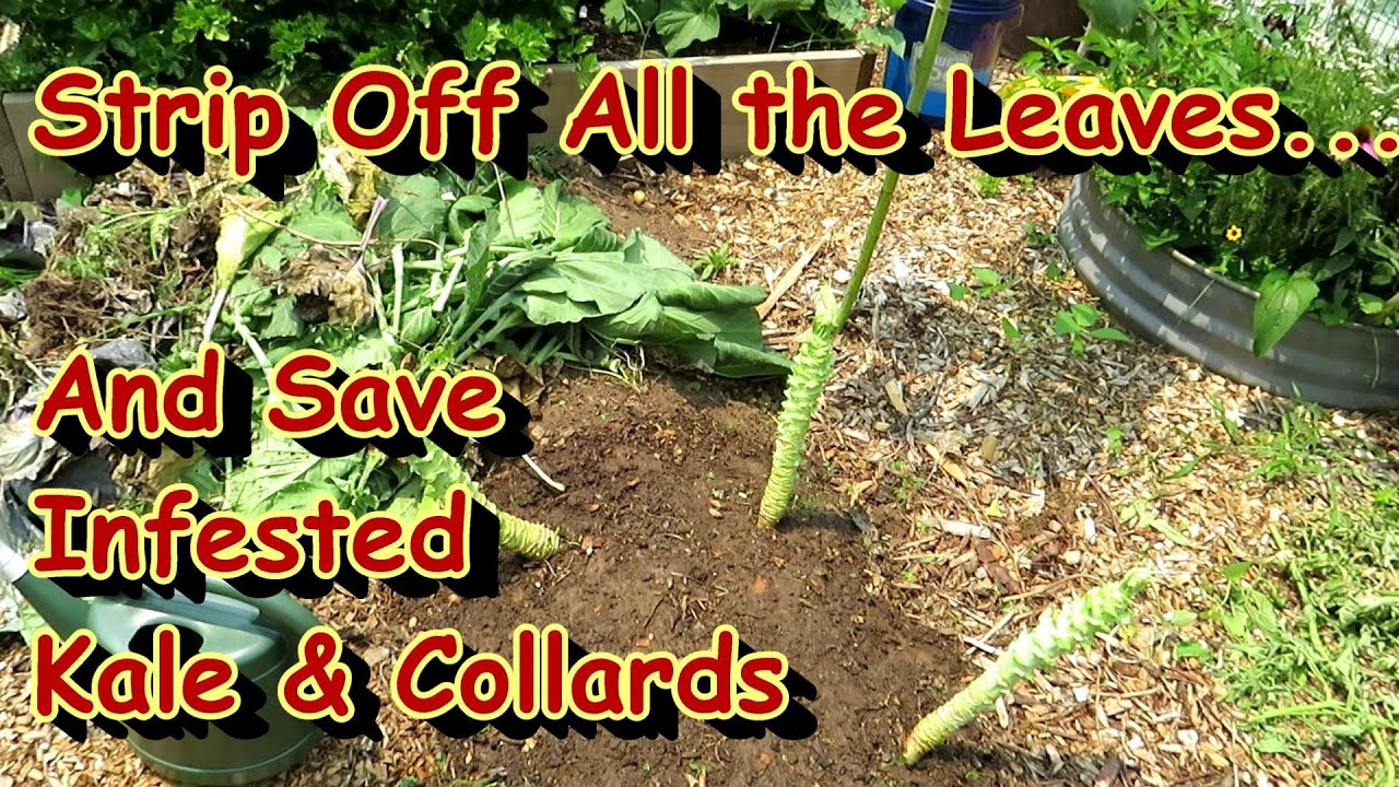 New Leave Grow Back Quickly!: Are Whiteflies, Army Worms, & Loopers Devastating Your Kale & Collards