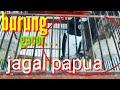 Burung Jagal Papua Gacor Buat Pancing  Mp3 - Mp4 Download