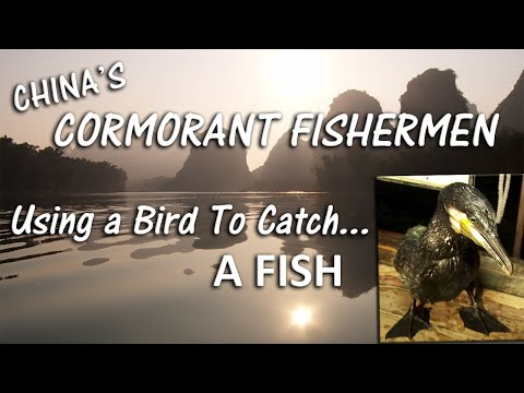 Cormorant Fishing In China: Using Birds To Catch Fish
