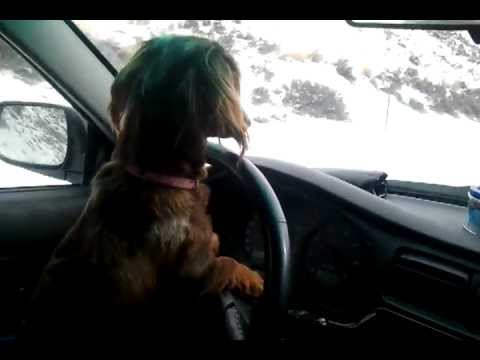 Funny Dog Driving Car