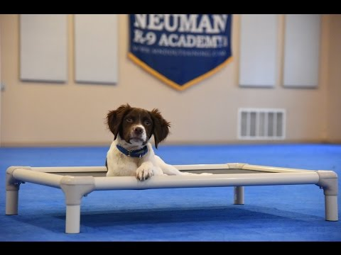 Chester (Brittany Spaniel) Puppy Camp Dog Training Demonstration