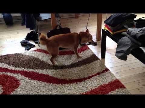 Shiba Inu puppy in frenzy mode