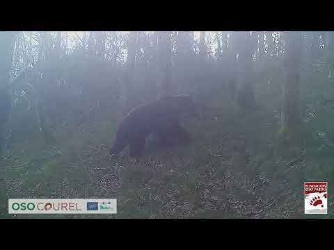 Graban a dos osos en la Serra do Courel