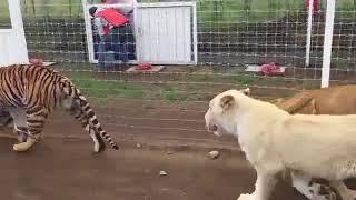 Download Video Majikan dan 20 harimau makan bersama di satu kandang MP3 3GP MP4