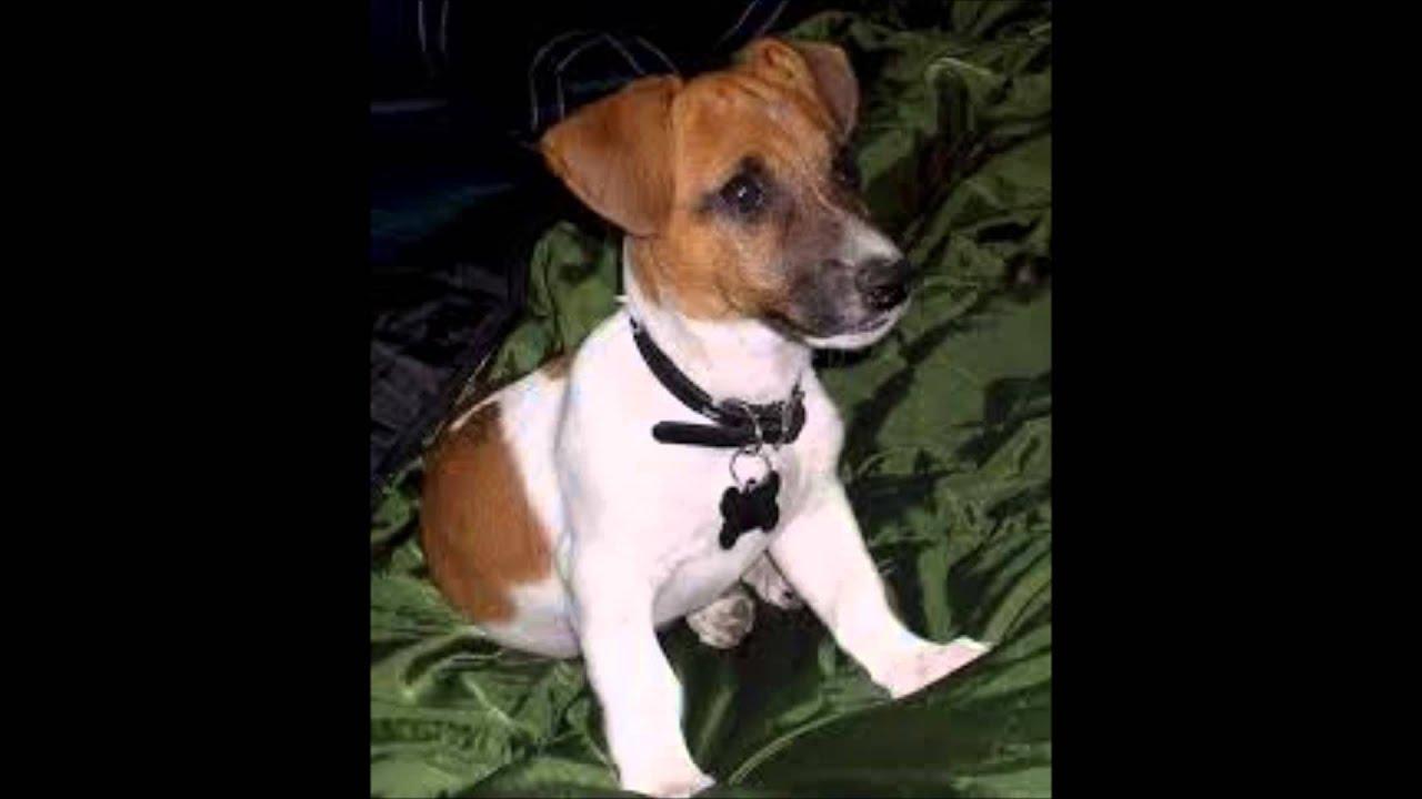 Razze canine episodio 3 jack russel terrier youtube - Jack russel queue coupee ...