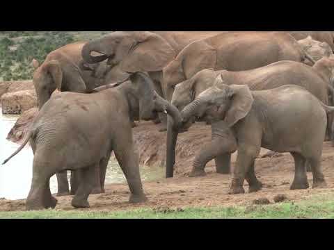 Addo National Park video - (Elephants; Lions; Buffalos; Kudu