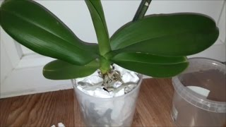 Эксперимент ПЕНОПЛАСТ #4. Орхидея фаленопсис №15. Обзор на 25.04.2017