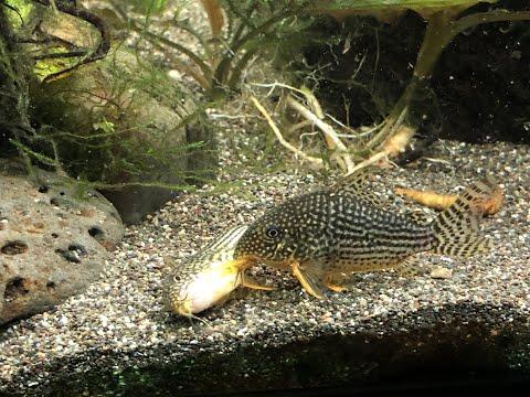 How To Breed Sterbai Corydoras Catfish