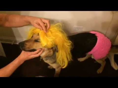 Boiling a wig, dressing the dog in drag.