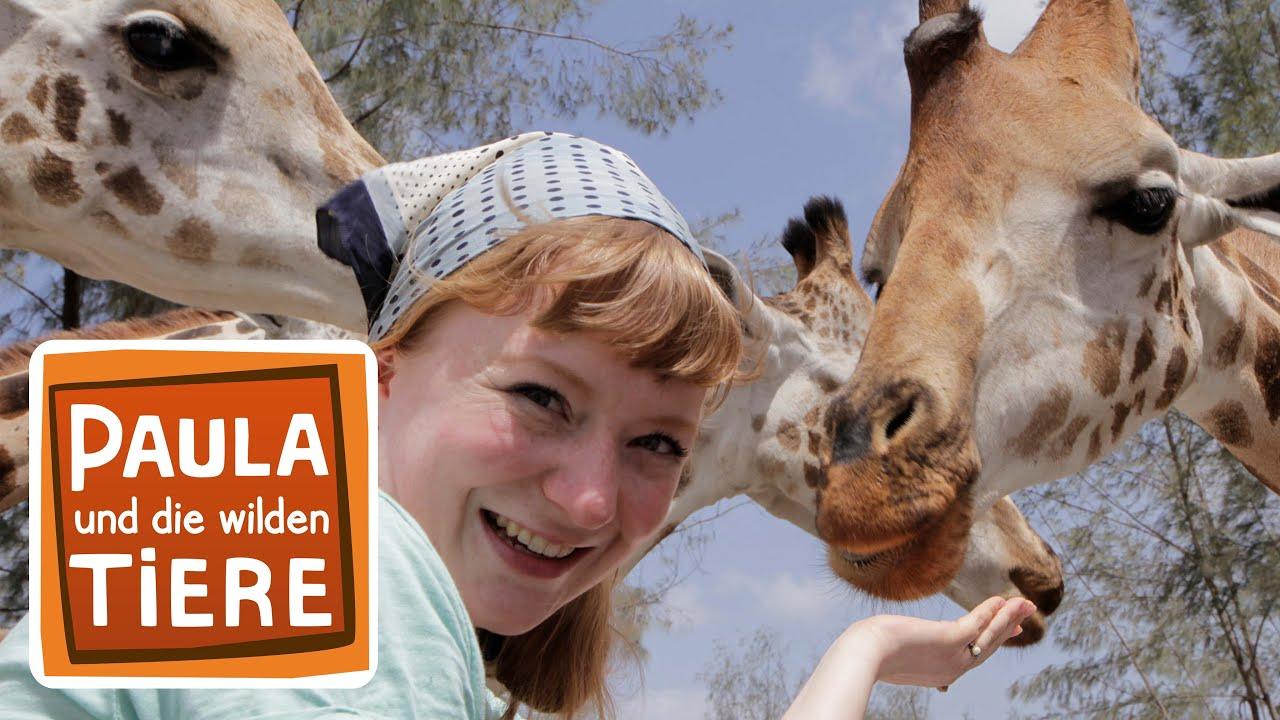 Kopf Hoch Giraffe Doku Reportage Fur Kinder Paula Und Die Wilden Tiere Youtube