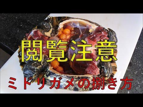 ミシシッピアカミミガメ(ミドリガメ)の捌き方 料理前の準備 ミドリガメを食べる