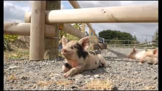 Potty Training - Beautiful Micro Mini Teacup Pet Pigs; Micro Pig House Training
